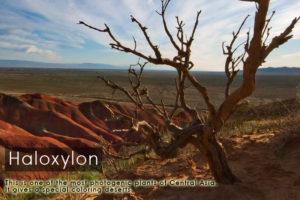 haloxylon-kazakhstan-expeditions