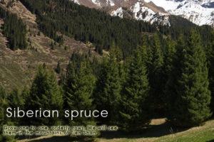 siberian-spruce-kazakhstan-expeditions