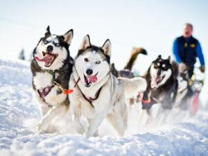 Ride dog sledding in Russia. Oymyakon, Yakutia
