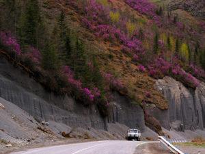 Чуйский тракт в цветение маральника Алтай