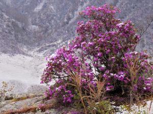 Цветение рододендрона Ледебура